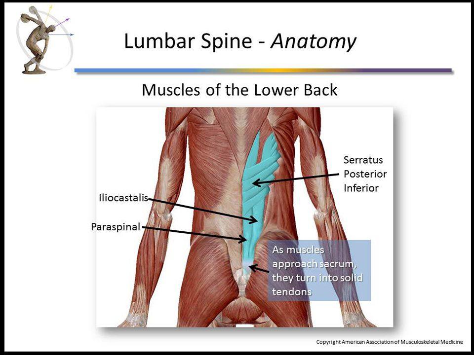 Lumbar muscle anatomy 4311824 - follow4more.info